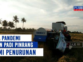 Produksi Padi Turun Akibat Terserang Hama di Pinrang